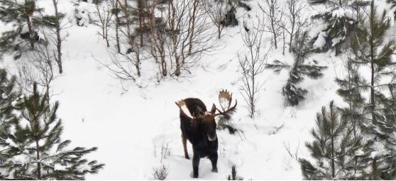 2021 Ceded Territory Moose Hunt